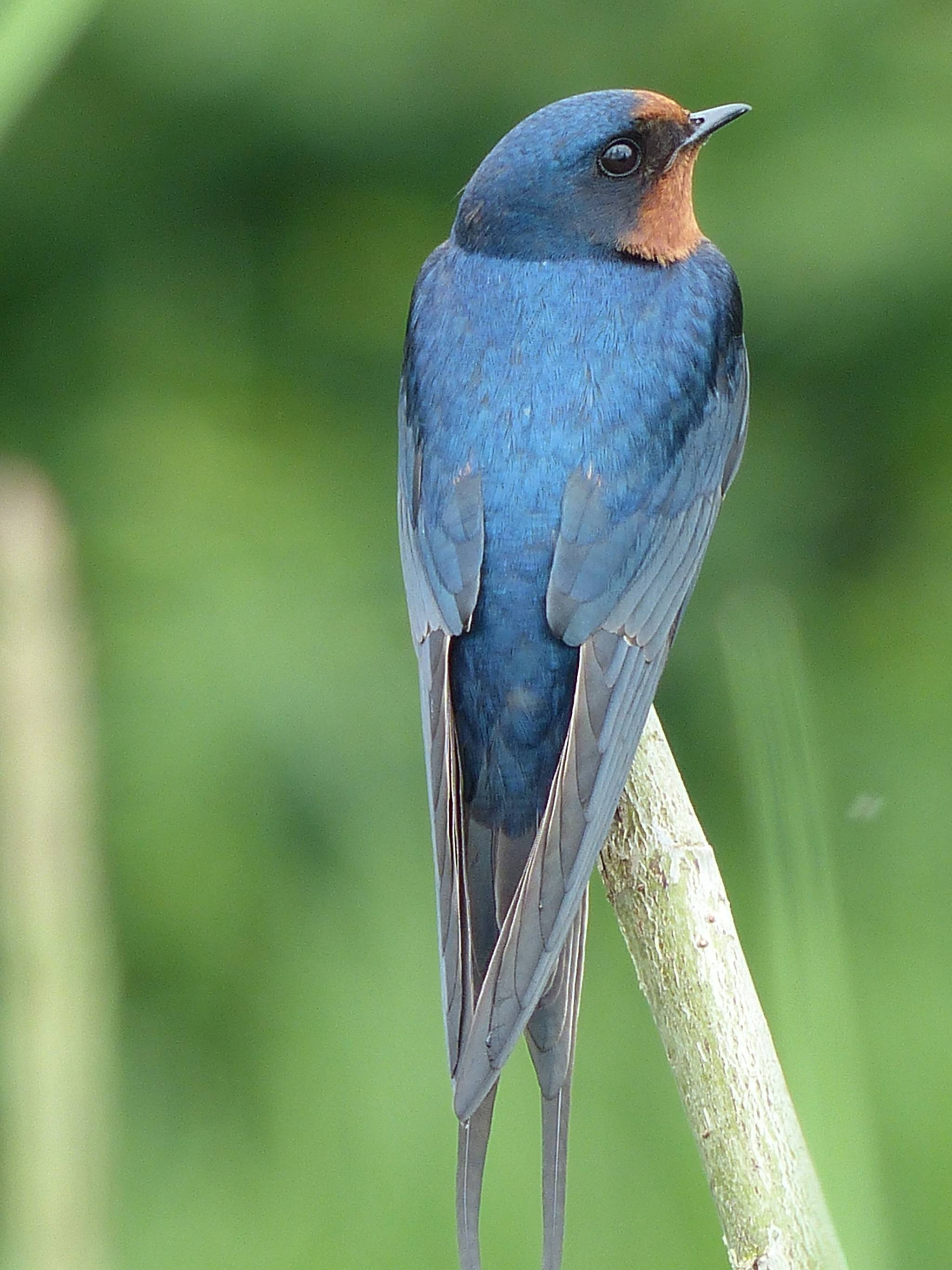Barn swallows filt about Harrison once again, in smaller numbers